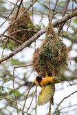 Tkacz żółty ptak - rezerwat przyrody - uganda — Zdjęcie stockowe