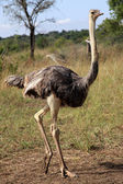 Ostrich - Uganda, Africa — Stock Photo