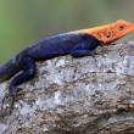 Red Headed Agama Lizard - Uganda, Africa — Stock Photo