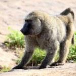 Baboon - Uganda, Africa — Stock Photo #12340852