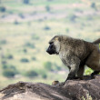 Baboon - Uganda, Africa — Stock Photo