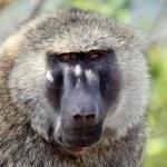 Baboon - Uganda, Africa — Stock Photo #12340892