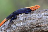 Red Headed Agama Lizard - Uganda, Africa — Stock Photo