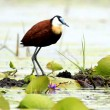 African Jacana Bird - Lake Opeta - Uganda, Africa - Stock Photo