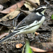 African Pied Wagtail - Bigodi Wetlands - Uganda, Africa - Stock Photo