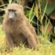 Olive Baboon - Bigodi Wetlands - Uganda, Africa - Stock Photo