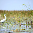 Great White Egret - Lake Opeta - Uganda, Africa - Stock Photo