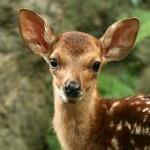 Baby Deer, Japan — Stock Photo #12464079