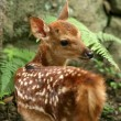 Baby Deer, Japan — Stock Photo #12464085