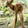 Baby Deer, Japan — Stock Photo #12464105