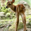 Stock Photo: Baby Deer, Japan