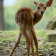 Baby Deer, Japan — Stock Photo #12464113