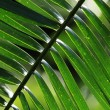 Palm Leaf - Bigodi Swamps - Uganda - Stock Photo