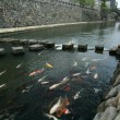 Coy Carp - Spectacles Bridge, Nagasaki, Japan, Asia — Stock Photo