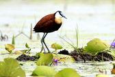 African Jacana Bird - Lake Opeta - Uganda, Africa — Stock Photo