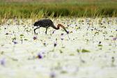 Goliath Heron - Lake Opeta - Uganda, Africa — Stock Photo