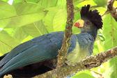 Great Blue Turaco - Bigodi Wetlands - Uganda, Africa — Foto de Stock