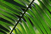 Palm Leaf - Bigodi Swamps - Uganda — Stock Photo