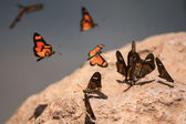Butterfly - Bigodi Wetlands - Uganda, Africa — Stock Photo