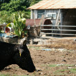 Stock Photo: Bull Shed - Iriomote JimIsland, Okinawa, Japan