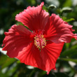 Red Flower - Iriomote Jima Island, Okinawa, Japan - Stock Photo