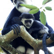 Black and White Colobus - Uganda, Africa — Foto Stock