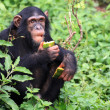 Stock Photo: Chimpanzee - Uganda