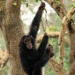 Chimps - African Wildlife — Stock Photo