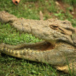 Постер, плакат: Crocodille African Wildlife