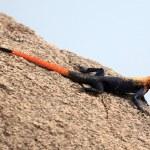Red Headed Agama Lizard - Uganda, Africa — Stock Photo #12478515
