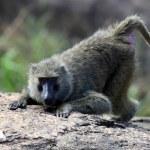 Baboon - Uganda, Africa — Stock Photo #12478569