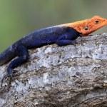 Red Headed Agama Lizard - Uganda, Africa — Stock Photo #12478653