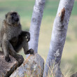 Baboon - Uganda, Africa - Stock Photo