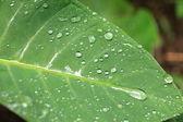 Fresh Leaf - Bigodi Swamps - Uganda — Stock Photo