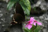 Black Butterfly - Taketomi Island , Okinawa, Japan — Stock Photo