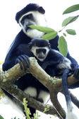 Black and White Colobus - Uganda, Africa — Stock Photo
