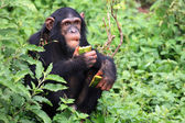 Chimpanzee - Uganda — Stock Photo