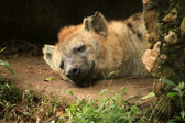 Hyena - African Wildlife — 图库照片