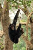 Chimps - African Wildlife — Stock Photo