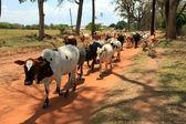 Cow Herd - Soroti, Uganda, Africa — Stock Photo