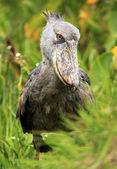 Shoebill v Africe wild - uganda — Stock fotografie