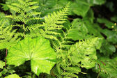 Green Fern in Nature — Stock Photo