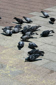 Pigeons - Odori Park, Sapporo City, Japan — Stock Photo