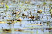 Lesser Jacana Bird - Lake Opeta - Uganda, Africa — Stock Photo