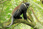 L'Hoests Monkey - Bigodi Wetlands - Uganda, Africa — Stock Photo