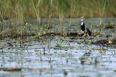 Long Toed Plover (Lapwink) - Lake Opeta - Uganda, Africa — Stock Photo