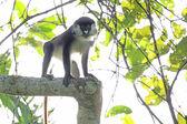 Red Tailed Monkey - Bigodi Wetlands - Uganda, Africa — Stock Photo