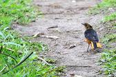 Teste nevoso robin-chat - bigodi zone umide - uganda, africa — Foto Stock