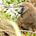 Olive Baboon - Bigodi Wetlands - Uganda, Africa — Stock Photo #12815233