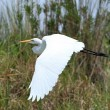 Great White Egret - Lake Opeta - Uganda, Africa — Stock Photo